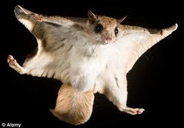 Flying tree squirrel