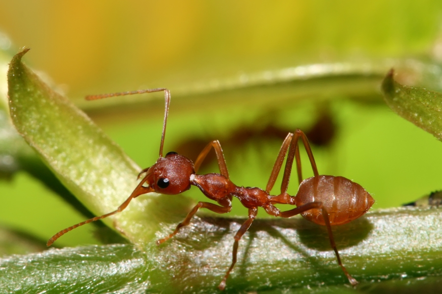 Save our red ants.jpg